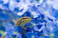 Lizards in the hydrangea Stock photo [1439298] Hydrangea