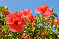 Hibiscus and blue sky Stock photo [1440922] Okinawa