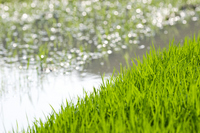 Rice seedlings and paddy Stock photo [1441230] Rice
