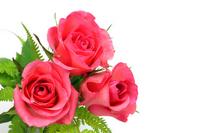 Rose Stock photo [1444907] Rose