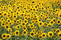 Sunflower gregarious Stock photo [1530856] Sunflower