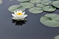 Water lilies Stock photo [1533573] Marsh