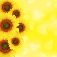 Sunflower and yellow background Stock photo [1536602] Sunflower