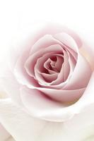 Beautiful pale purple rose Stock photo [1536693] Rose