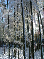 morning of bamboo forest where snow fell Stock photo [1537497] Snow