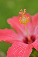 Hibiscus Painted Lady Stock photo [1538128] Hibiscus