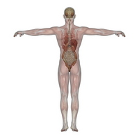 Male mannequin [1538807] Medical