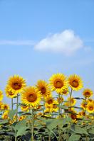 Sunflower Stock photo [1539296] Sunflower