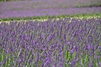 Lavender Stock photo [1539779] Fragrance