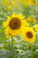 Sunflower parent-child Stock photo [1541592] Sunflower