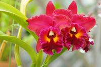 Cattleya Stock photo [1639856] Cattleya