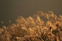 Pampas grass shining in Chaoyang Stock photo [1640438] Japanese
