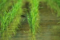 Rice planting Stock photo [1642266] Rice