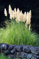Pampas grass Stock photo [1642773] Pampas