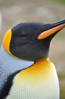 King Penguin Stock photo [1644085] King