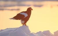Of drift ice Steller's sea eagle Steller's