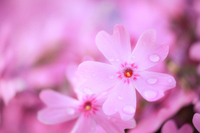 Moss Pink Stock photo [1645480] Flower