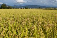 Golden Inada Stock photo [1645942] Rice