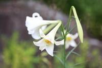 Takasago lily Stock photo [1740820] Takasago