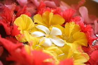 Frangipani and hibiscus flower basket Stock photo [1814853] Hibiscus