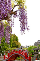 Kameido Tenjin of wisteria Stock photo [1815408] Kameido