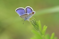 Silver-studded Blue Stock photo [1816409] Silver-studded