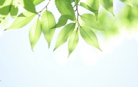 Shine of young leaves Stock photo [1926100] Wakaba