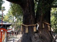 Couple camphor tree Stock photo [1926201] Sumiyoshi