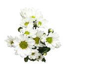 White background with white chrysanthemum flowers Stock photo [1929370] Chrysanthemum