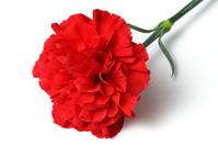 Place red carnation white background horizontal Stock photo [1934011] Carnation