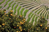 Tangerine groves and Yushi water load Ura Danhatake Stock photo [1936381] Ehime