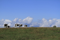 Cattle and sky Stock photo [1936745] Cattle