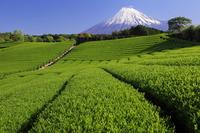 Tea plantations and Mount Fuji stock photo
