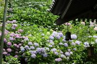 Hydrangea of \Hase-dera Temple and Kaze鐸 stock photo