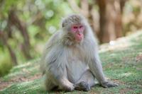 Japanese monkey APE