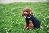 Cute poodle Stock photo [2041460] Animal