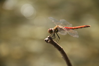 Okutama valley Sympetrum frequens Stock photo [2132909] Dragonfly