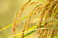 Inaho Stock photo [2134569] Rice