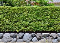 Hedges made of Podocarpus macrophyllus Stock photo [2137000] Podocarpus