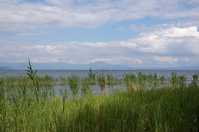 Reeds of Lake Biwa Stock photo [2141858] Reed