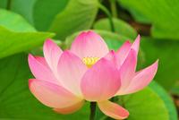 Lotus Flower Stock photo [2145082] Lotus