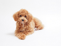 Sitting to Toy Poodle Stock photo [2249654] Toy