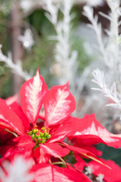Poinsettia Stock photo [2249850] Poinsettia