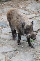 Wild boar Stock photo [2250711] Wild