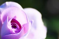 Rose Blue Bayou Stock photo [2253363] Rose