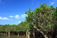 Amami Oshima mangrove virgin forest Stock photo [2254276] Kyushu