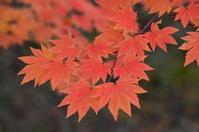 Autumn leaves of Kohauchiwakaede Stock photo [2254473] Maple