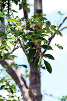 Fraxinus griffithii Stock photo [2258156] Oleaceae
