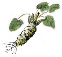 Watercolor illustrations wasabi An