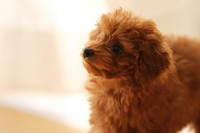 Toy poodle Stock photo [2261614] Toipu
